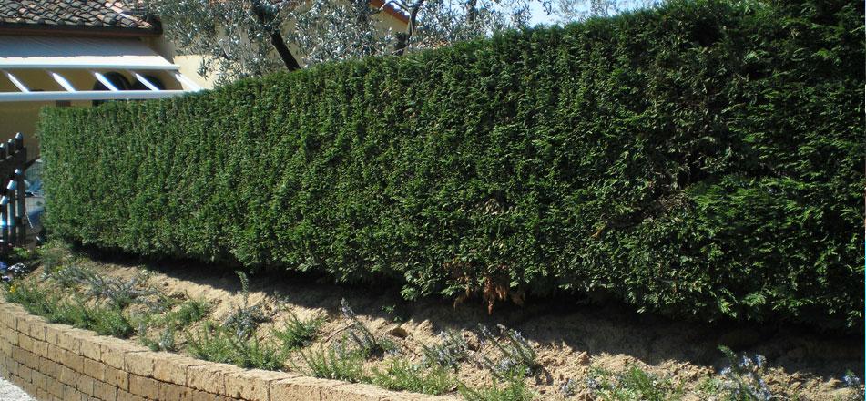 Messa a dimora siepi baldecchi giardini for Siepi artificiali per balconi